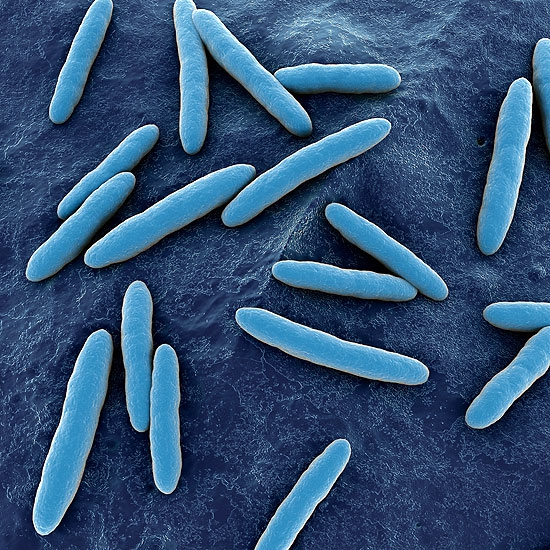 acetobacter