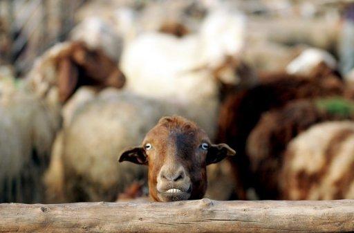 گوسفند با قلاده پیامکی