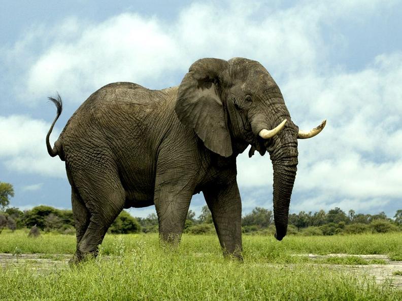 فیل آفریقایی